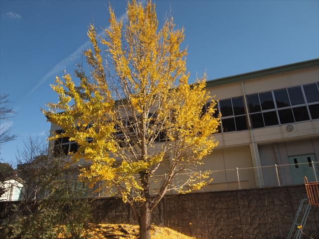 徳島県 神山町 4K・VR徳島映画祭 イチョウの木