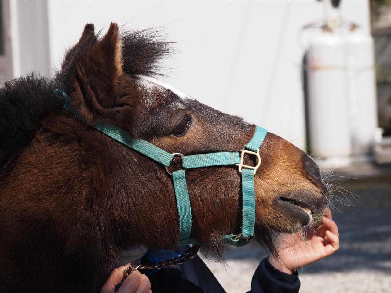 ポニーの乗馬体験 もみじ川温泉 さくら祭り