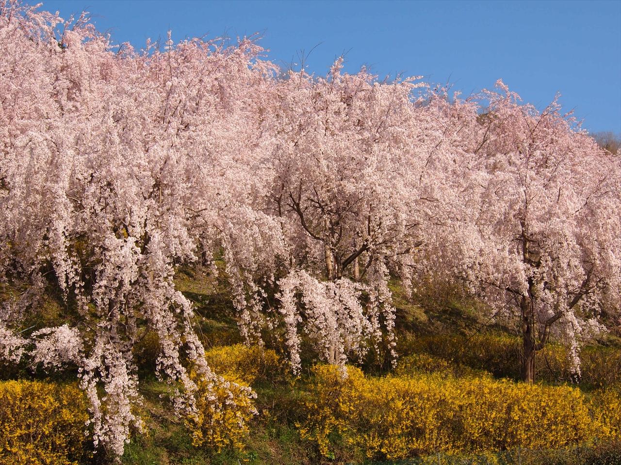 徳島県神山町鬼籠野 ゆうかの里 しだれ桜