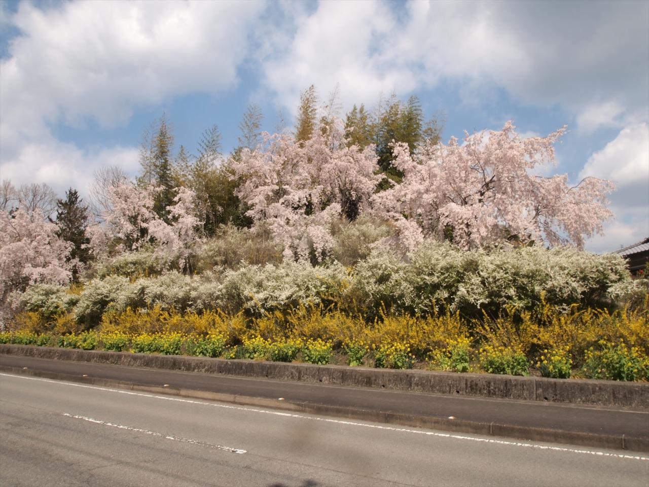 徳島県神山町鬼籠野中分 ゆうかの里 しだれ桜