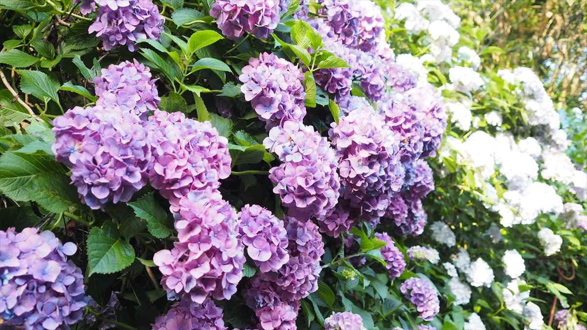 美粧園 徳島県勝浦町 アジサイ 紫色